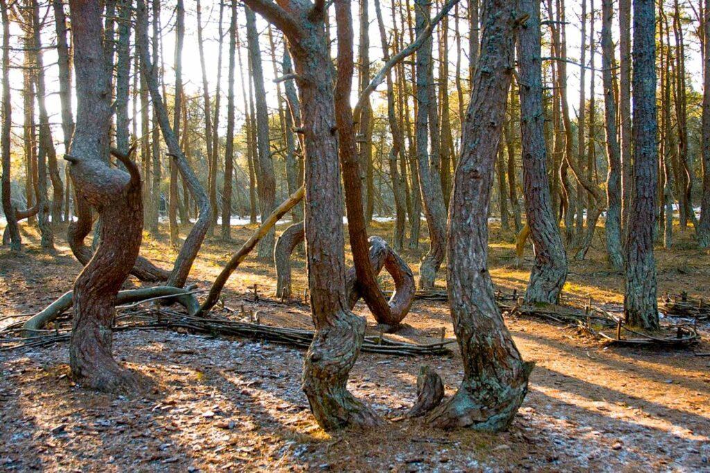 O que visitar no Oblast de Kaliningrado: árvores retorcidas da Floresta Dançante, no Curonian Spit